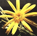 Dried Arnica Flowers http://www.skylarkbooks.co.uk/Shop/media/Weleda-Arnica-Massage-Balm.htm
